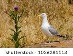 Yellow Legged Seagull Standing...
