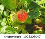 ripe strawberries. gardening.... | Shutterstock . vector #1026308047