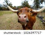 longhorn cow standing in rural... | Shutterstock . vector #1026397717