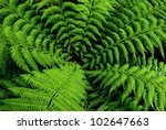 Center Of Fern Tree In Native...