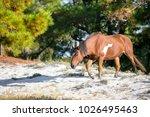wild pony  equus caballus  at... | Shutterstock . vector #1026495463