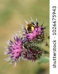 Small photo of Macro of the Caucasian fluffy striped fluffy bee Macropis fulvipes with pollen on the legs and wings gathering nectar on the purple flower of thistle Arctium lappa