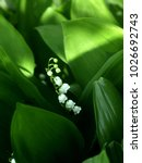 Lily Of The Valley Or May Lily...