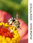 Small photo of Macro view of Caucasian fluffy striped, small and gray bee Amegilla albigena collecting nectar on yellow inflorescence of orange-pink flower Zinnia