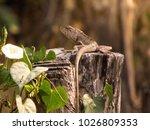 chameleon in thailand | Shutterstock . vector #1026809353