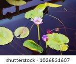 lotus. flower beautiful lotus   Shutterstock . vector #1026831607