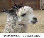 The Head Of A Llama Close Up