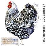 wyandotte hen. poultry farming. ...   Shutterstock . vector #1026888697