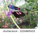 heliconius erato cyrbia in the...   Shutterstock . vector #1026889633