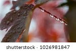 red wet leaf on rainy day close ... | Shutterstock . vector #1026981847