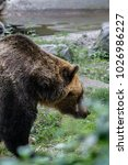 brown bears are one of the...   Shutterstock . vector #1026986227