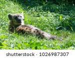 the spotted hyena is a highly...   Shutterstock . vector #1026987307