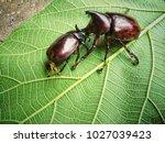 xylotrupes gideon  siamese... | Shutterstock . vector #1027039423