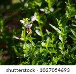honey bee gathering pollen from ... | Shutterstock . vector #1027054693