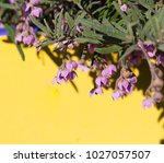 dainty mauve blooms of... | Shutterstock . vector #1027057507