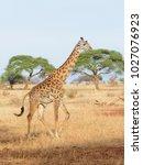 closeup of masai giraffe ... | Shutterstock . vector #1027076923