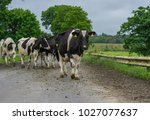 frisian dairy cows crossing a... | Shutterstock . vector #1027077637