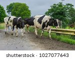 frisian dairy cows crossing a... | Shutterstock . vector #1027077643