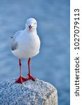 Seagull Standing On A Rock Wit...