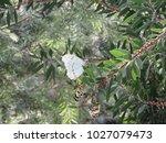 White Morpho Butterfly  Morpho...