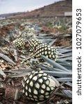 blue agave pineapple  spikes...   Shutterstock . vector #1027079653