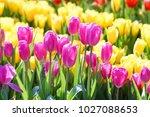 blooming spring flowers tulips. | Shutterstock . vector #1027088653