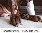 Small photo of Lick Granuloma on Labrador Retriever's lower portion of one legs. Also known as acral lick dermatitis