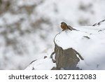 Small photo of An Alpine Accentor (Prunella collaris) on a snow covered rock. Near Kaza, Spiti Valley, Himachal Pradesh, India. February 2017.