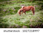 Icelandic horses live free and eat grass on the green hills of the island; they still play an important role in Icelandic life.