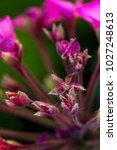 pink baby flower buds background   Shutterstock . vector #1027248613