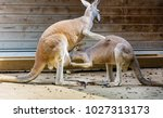 kangaroo  feeding her baby   Shutterstock . vector #1027313173