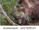 brown bear in the vegetation of ...   Shutterstock . vector #1027339117