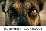 Dog's Eyes Closeup. Sheep Dog'...