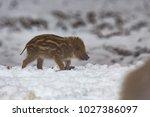 baby boar in the snowy forest.   Shutterstock . vector #1027386097