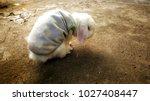 Senile White Rabbit Wearing...