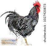 plymouth rooster. poultry... | Shutterstock . vector #1027420873