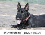 scottish terrier puppy posed at ... | Shutterstock . vector #1027445107