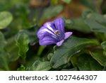 Small photo of Taiwan bugleweed's purple flower blooming(Ajuga pygmaea)