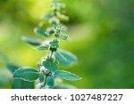 flowering plant peppermint in...   Shutterstock . vector #1027487227