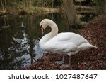 Adult swan seeing standing on a ...