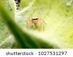 Close Up Of Jumping Spider ...
