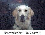 Labrador Retriever Behind The...