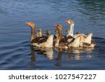 domestic geese on the lake.... | Shutterstock . vector #1027547227