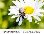 beetle  ground beetle on nature ... | Shutterstock . vector #1027616437