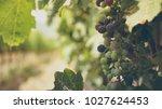 Small photo of Summer Grape Vineyard