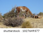 guanaco family in the steppe in ... | Shutterstock . vector #1027649377