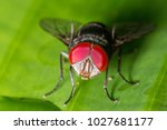 Red Eye Fly Macro Close Up