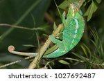 the common chameleon or... | Shutterstock . vector #1027692487