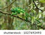 the common chameleon or... | Shutterstock . vector #1027692493