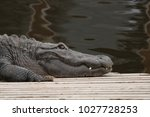Crocodile  Water  Alligator